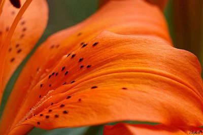 Mistletoe - Soft lily by Carol Lynch