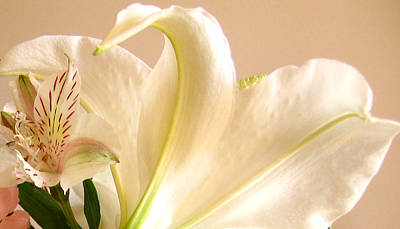 Art Print featuring the photograph Soft Lily Photograph by Mary Bedy