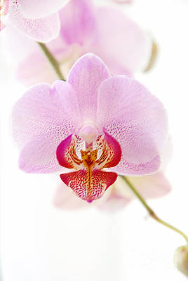 Soft Orchid Art Print by Hannes Cmarits