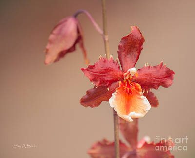 Photograph - Soft Orchid by Sally Simon
