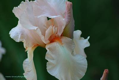 Photograph - Soft Peach Iris by Nance Larson