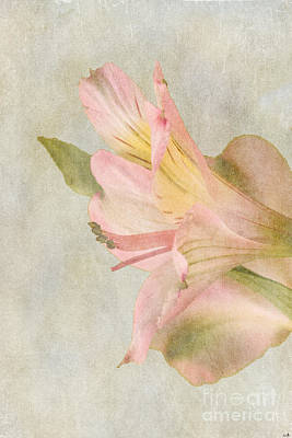 Photograph - Soft Peruvian Lily by Sandra Clark
