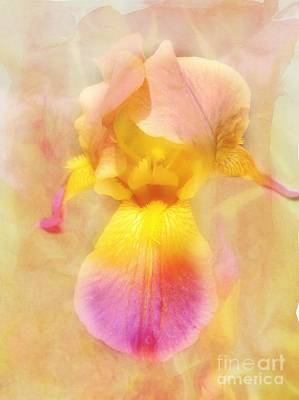 Photograph - Soft  Pink And Yellow Iris  by Peggy Franz