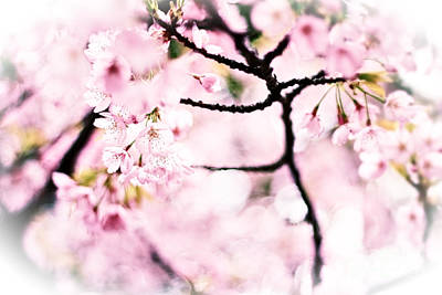 Photograph - Soft Pink Cherry Blossoms In The Sunlight by Beverly Claire Kaiya