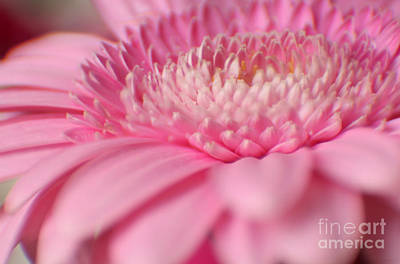 Photograph - Soft Pink Gerbera Daisy by Eden Baed