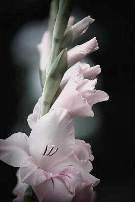 Photograph - Soft Pink Gladiolas  by Kathy Sampson