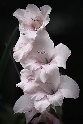 Photograph - Soft Pink Gladiolas L by Kathy Sampson