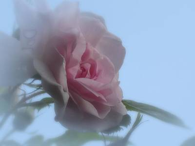 Photograph - Soft Pink On Blue Rose by MTBobbins Photography