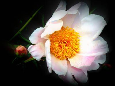 Photograph - Soft Pink Peony by Kay Novy