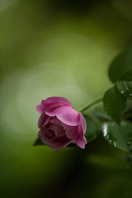 Roses Royalty-Free and Rights-Managed Images - Soft Pink Rose by Mike Reid