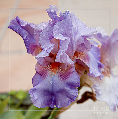 Photograph - Soft Purple Iris Flower After Rain by Jerry Cowart