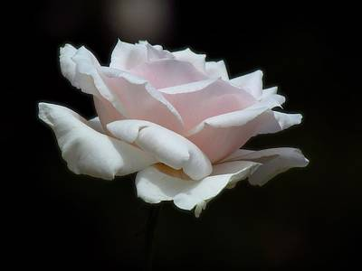 Photograph - Soft Rose by Carol Montoya