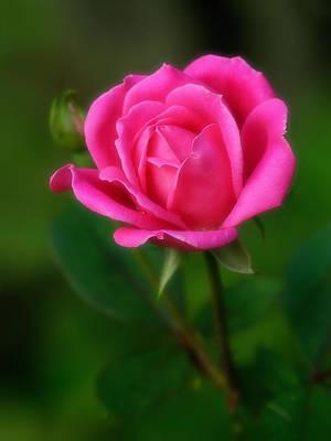 Photograph - Soft Rose by Carolyn Derstine