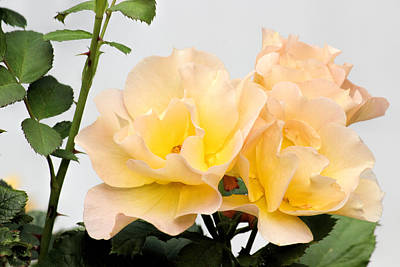 Prickly Rose Photograph - Soft Roses by Becca Buecher