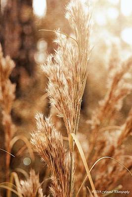 Photograph - Soft Sea Oats  by Debra Forand