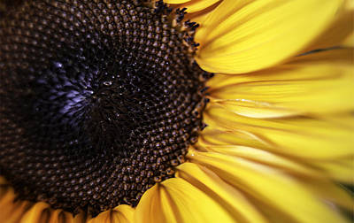 Photograph - Soft Sunflower by Michael Hope