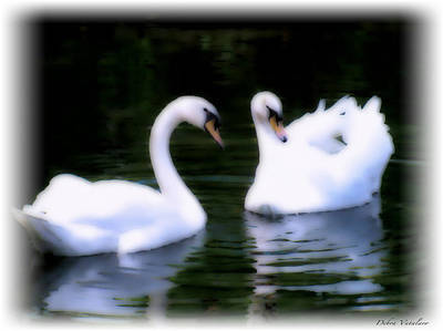 Photograph - Soft Touch 8 Swans by Debra     Vatalaro
