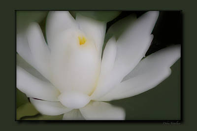 Photograph - Soft Touch Lotus by Debra     Vatalaro