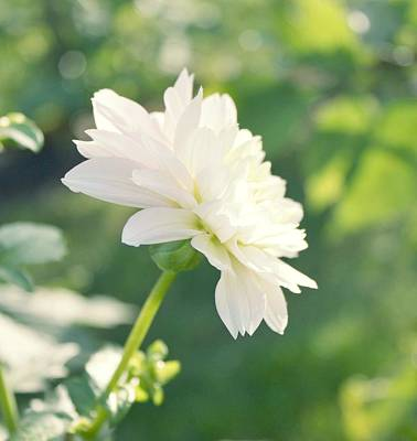 Photograph - Soft White Dahlias by Cathie Tyler