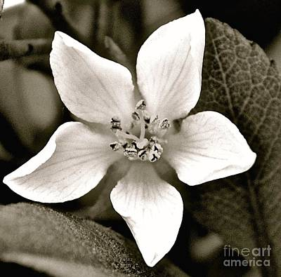 India Hawthorne Photograph - Soft White Petals by Cindy Nearing