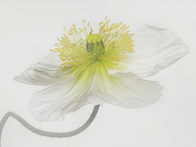 Photograph - Soft White Poppy by David and Carol Kelly