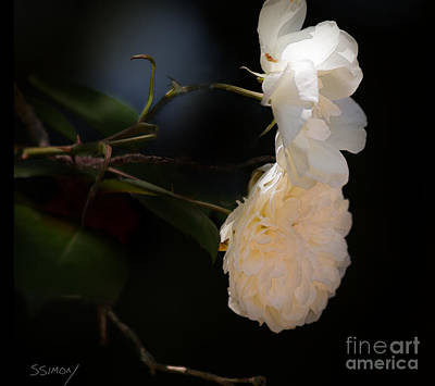 Photograph - Soft White Roses by Sally Simon