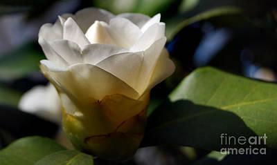 Camellia Photograph - Soft White by Skip Willits