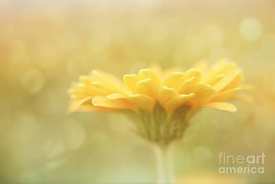 Soft Yellow Gerbera Art Print by LHJB Photography
