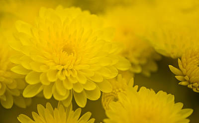 Photograph - Soft Yellow Mums by  Onyonet  Photo Studios