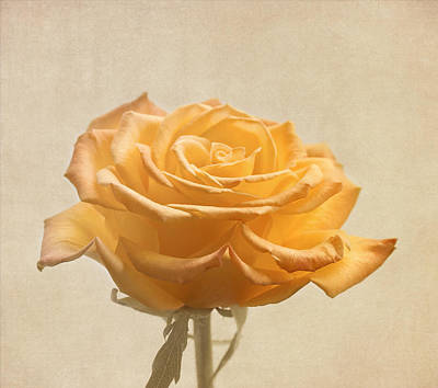 Kim Photograph - Soft Yellow Rose Flower by Kim Hojnacki