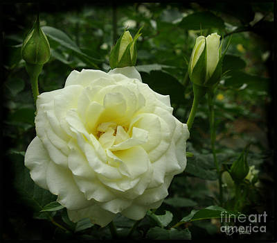 Photograph - Soft White Rose  by James C Thomas