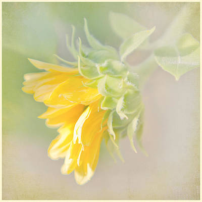 Soft Yellow Sunflower Just Starting To Bloom Art Print