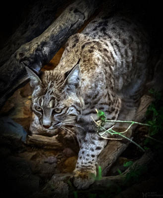 Bobcats Mixed Media - Soften Bobcat by Elaine Malott