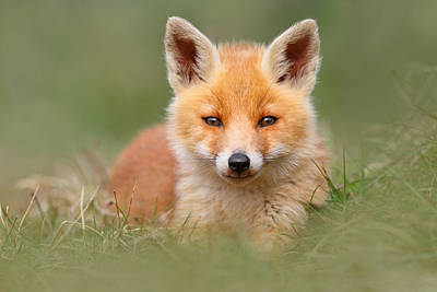 Juvenile Photograph - Softfox -young Fox Kit Lying In The Grass by Roeselien Raimond