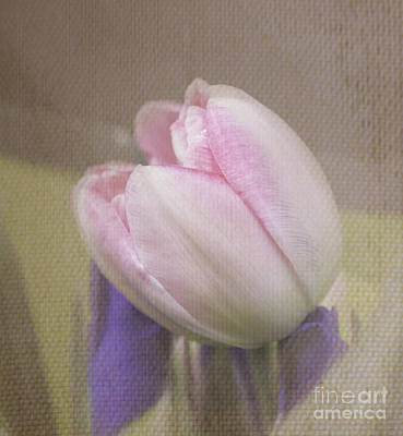 Softly Tulip Art Print by Arlene Carmel
