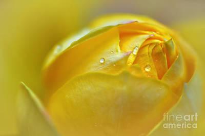 Softness Of A Miniature Rose In Yellow Original