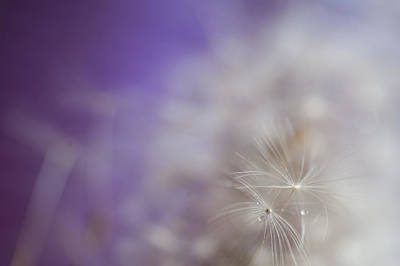 Macro Photograph - Soft Touch Of Dandelion by Jenny Rainbow