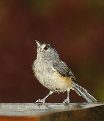 Tufted Titmouse Photograph - Soggy Titmouse by Lara Ellis