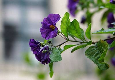 Photograph - Solanum Rantonnetii With Garden Background by Tracey Harrington-Simpson