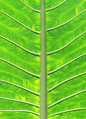 Photograph - Solar Panel Leaf Veins by David Clode