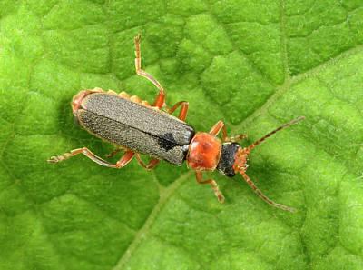 Beetle Photograph - Soldier Beetle by Nigel Downer