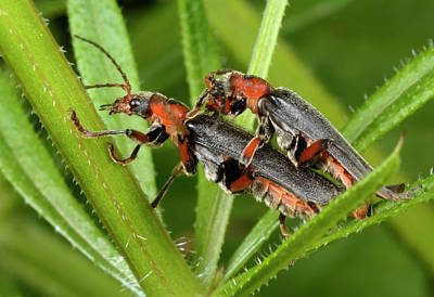 Copulation Photograph - Soldier Beetles Mating by Nigel Downer