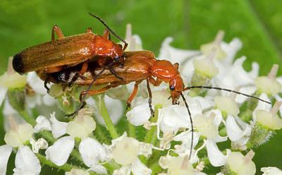 Animal Behaviour Wall Art - Photograph - Soldier Beetles by Nigel Downer