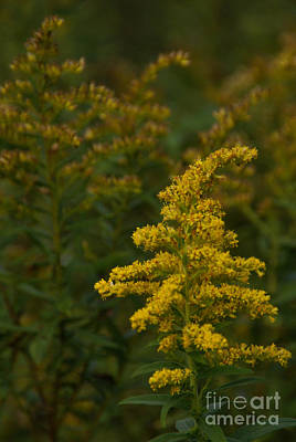 Photograph - Solidago by Linda Shafer