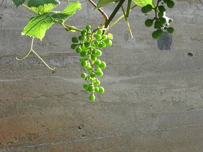 Photograph - Solitary Grapes by Deb Martin-Webster
