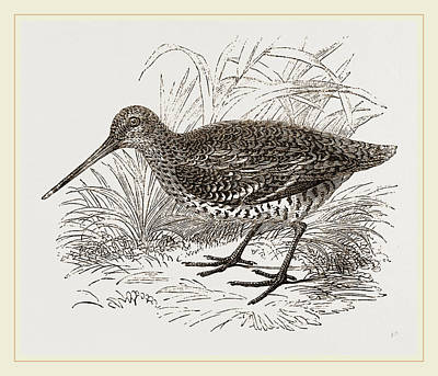 Solitary Drawing - Solitary Or Great Snipe by Litz Collection