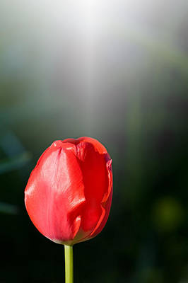 Photograph - Solitary Red Tulip by Melinda Fawver
