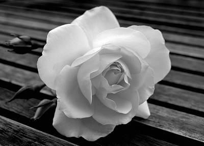 Photograph - Solitary Rose by Terence Davis