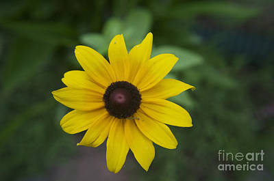 Photograph - Solo Black-eye Susan by Luther Fine Art