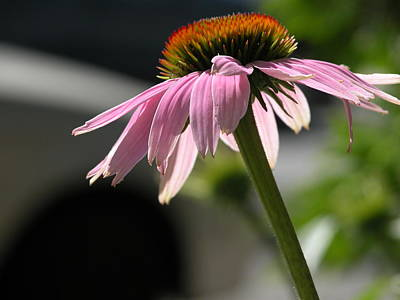 Valerie Paterson Wall Art - Photograph - Echinacea I by Valerie Paterson